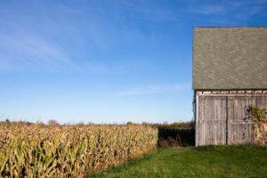 Corn ready to harvest with barn nearby.
